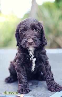 f1 labradoodle pup