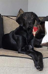 Labrador Retriever on couch