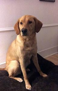 Labrador Retriever on dog bed