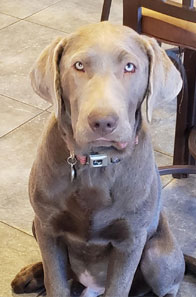 Silver Labrador Facts Chicago Labrador Retrievers