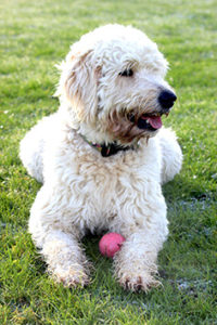 labradoodle and ball